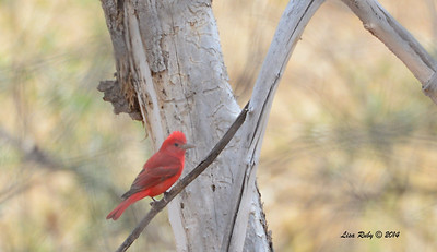 Summer Tanager  -  4/19/2014 - San Pedro Riparian Conservation Area, Sierra Vista, Az