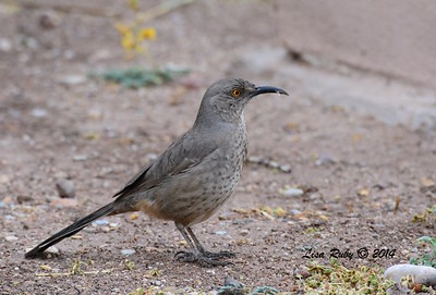 Curve-billed Thrasher - 4/18/2014 - San Pedro Riparian Conservation Area, Sierra Vista, Az