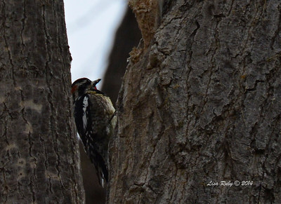 Red-naped Sapsucker - 4/19/2014 - San Pedro Riparian Conservation Area, Sierra Vista, Az
