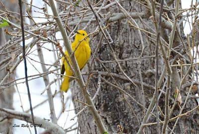 Yellow Warbler -  4/19/2014 - San Pedro Riparian Conservation Area, Sierra Vista, Az