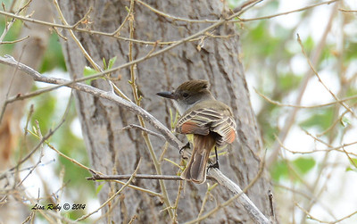 Brown-crested Flycatcher - 4/19/2014 - San Pedro Riparian National Conservation Area, Sierra Vista, Az