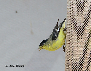 Male Lesser Goldfinch - 4/18/2014 - San Pedro Riparian Conservation Area, Sierra Vista, Az