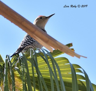 Gila Woodpecker  - 10/29/2019 - Wickenburg Neighborhood