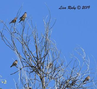 Western Bluebirds  - 10/30/2019 - Hassayampa Preserve, Wickenburg AZ