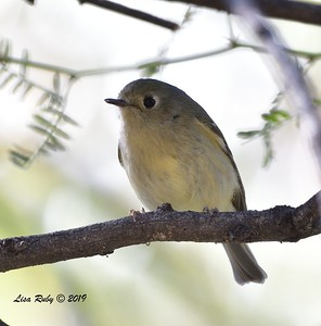 Ruby-crowned Kinglet  - 10/30/2019 - Hassayampa Preserve, Wickenburg AZ