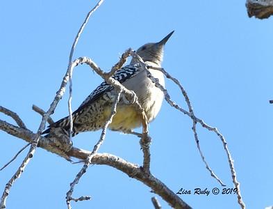 Gila Woodpecker  - 10/30/2019 - Hassayampa Preserve, Wickenburg AZ