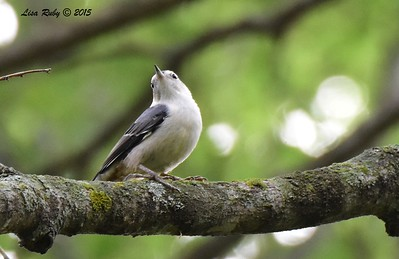 White-breasted Nuthatch - 6/29/2015 - Decorah Iowa, Palisades Inn