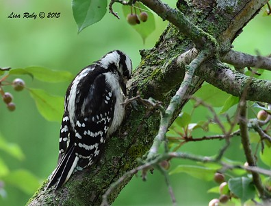 Downy Woodpecker - 6/29/2015 - Decorah Iowa, Palisades Inn