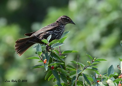 Female Red-winged Blackbird - 6/29/2015 - Decorah Iowa, Fish Hatchery