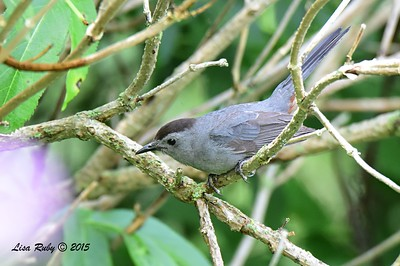 Gray Catbird - 6/28/2015 - Decorah Iowa, near waterfall at Fish Hatchery