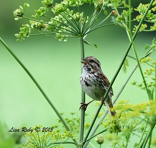 Song Sparrow - 6/28/2015 - Decorah Iowa, Trout Run Trail near Fish Hatchery