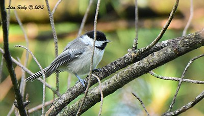Juvenile Black-capped Chickadee  - 6/30/2015 - Decorah Iowa, Palisades Inn