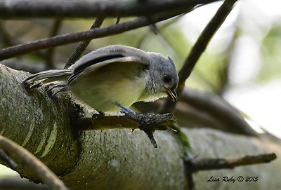 Juvenile Tufted Titmouse - 6/29/2015 - Decorah Iowa, Palisades Inn