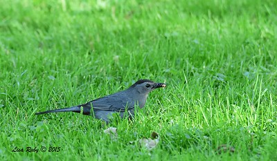 Gray Catbird - 6/27/2015 - Decorah Iowa, near waterfall at Fish Hatchery