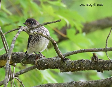 Juvenile Eastern Bluebird - 6/29/2015 - Decorah Iowa, Palisades Inn