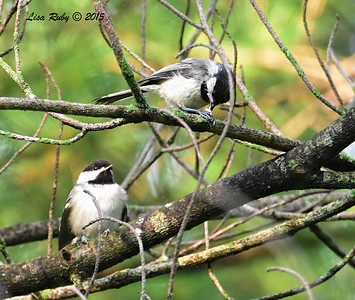Black-capped Chickadees (one on the left was being fed by parent) - 6/30/2015 - Decorah Iowa, Palisades Inn