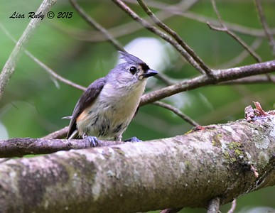 Tufted Titmouse - 6/29/2015 - Decorah Iowa, Palisades Inn