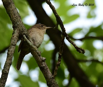 House Wren - 6/29/2015 - Decorah Iowa, Palisades Inn