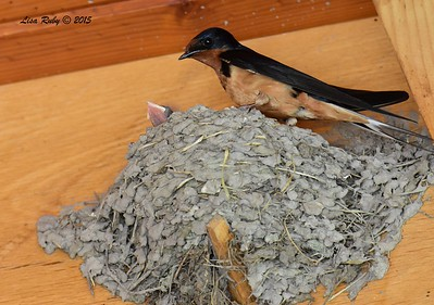 Barn Swallow with nestling - 6/27/2015 - Decorah Iowa, Pavilion at the Fish Hatchery
