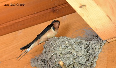 Barn Swallow on nest - 6/28/2015 - Decorah Iowa, Pavilion at Fish Hatchery