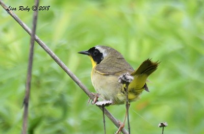 Common Yellowthroat - 6/27/2018 - Decorah, Iowa, Trout Run Trail near Fish Hatchery