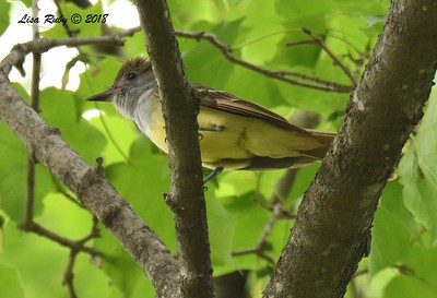 Great-crested Flycatcher - 6/25/2018 - Decorah, Iowa, trail by Palisades Inn
