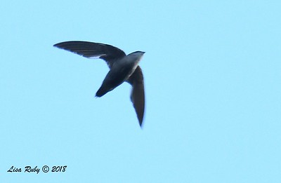 Chimney Swift  - 6/26/2018 - Decorah, Iowa, Fish Hatchery