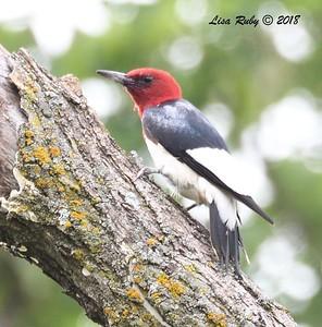 Red-headed Woodpecker  - 6/27/2018 - Decorah, Iowa, Trout Run Trail