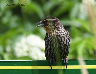 Red-winged Blackbird (female) - 6/26/2018 - Decorah, Iowa, Fish Hatchery