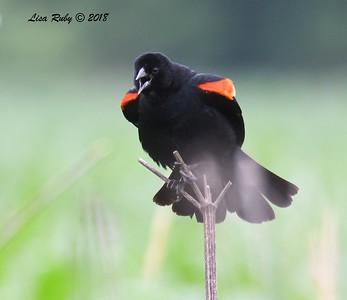 Red-winged Blackbird  - 6/27/2018 - Decorah, Iowa, Trout Run Trail near Fish Hatchery