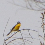 Yellow-Breasted Chat, a long ways away.