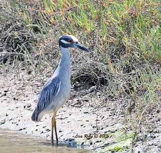 This photo and the rest following it are of the same Yellow-Crowned Night Heron at the Tijuana Estuary.