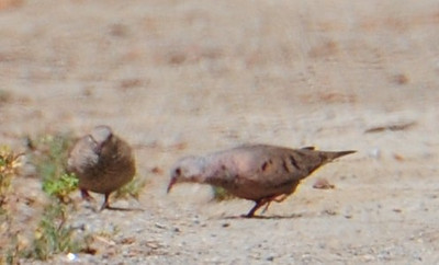Common Ground Doves.