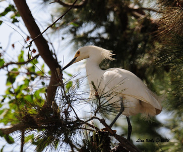 Snowy Egret at IB Sports Park. They were gathering nest material today.