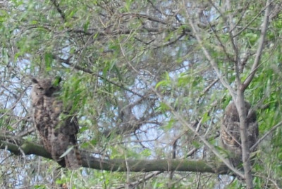Great-horned owls