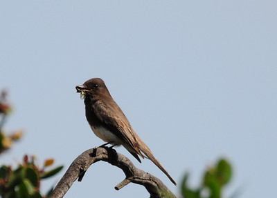 Black Phoebe. No idea what it nabbed.