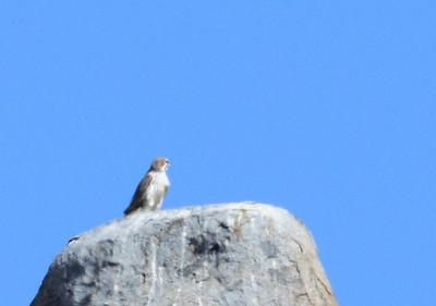 Prairie Falcon - Santa Ysabel Preserve - 10/23/13