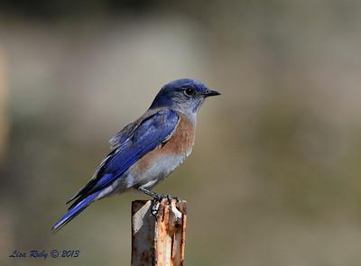 Western Bluebird - Lake Cuyamaca - 10/21/13