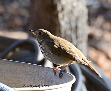 Hermit Thrush at Strawberry Hill Cabin, Pine Hills - 10/22/13