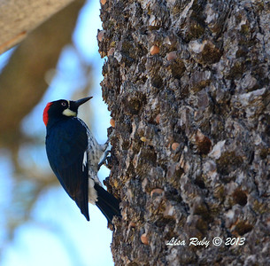 Acorn Woodpecker - Paso Picacho Campground - 10/24/13