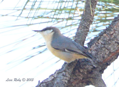 Pygmy Nuthatch - Paso Picacho Campground - 10/24/13