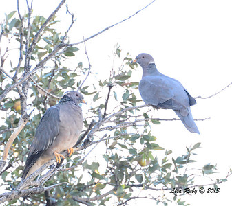 Band-tailed Pigeons Strawberry Hill Cabin, Pine Hills - 10/22/13