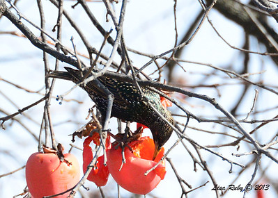 European Starling - 12/28/13 - Bates Nut Farm; 2013 Escondido CBC