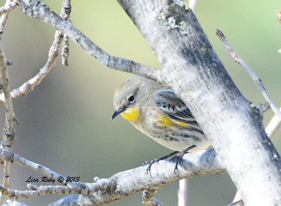 Yellow-rumped Warbler - 12/28/13 - Bates Nut Farm; 2013 Escondido CBC