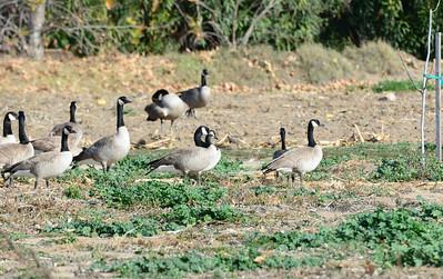 Canada Geese - 12/28/13 - Bates Nut Farm; 2013 Escondido CBC