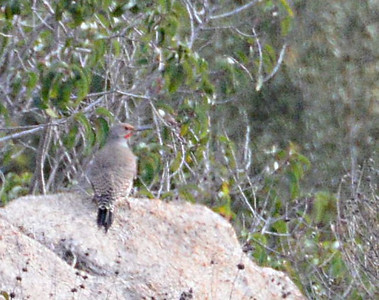 Northern Flicker - 12/28/13 - Woods Valley Campground; 2013 Escondido CBC