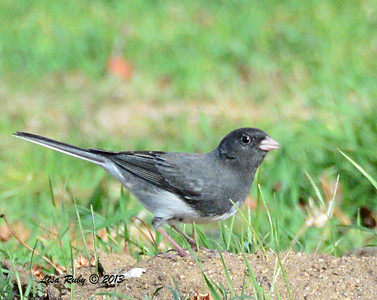 Dark-eyed Junco Slate Variant - 12/28/13 - Bates Nut Farm; 2013 Escondido CBC
