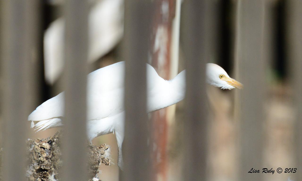 Cattle Egret - 12/28/13 - Chicken Farm Woods Valley; 2013 Escondido CBC