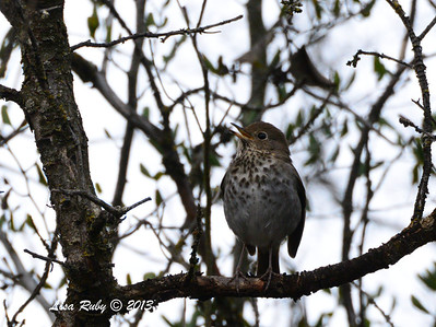 Hermit Thrush - 12/28/13 - Woods Valley Campground; 2013 Escondido CBC