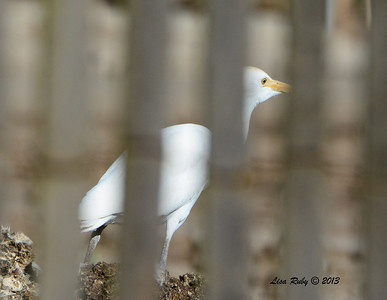 Cattle Egret - 12/28/13 - Chicken Farm Woods Valley; 2013 Escondido CBC